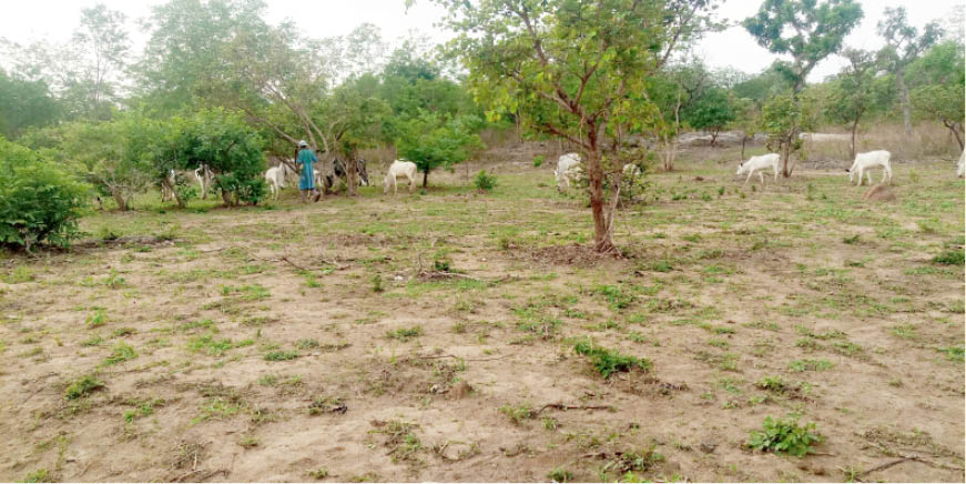 A herder grazing his cows close to a site cleared recently for this rainy season's farming